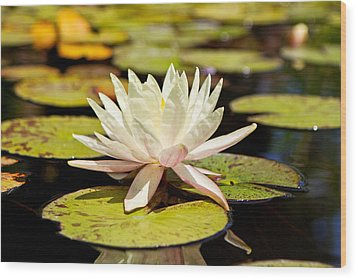 White Lotus Flower In Lily Pond Wood Print