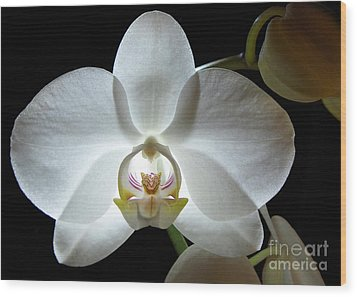 White Moon Orchid Wood Print by Kathi Mirto