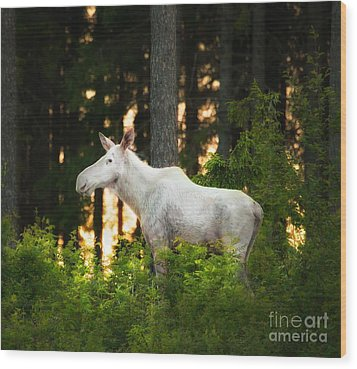 Wood Print featuring the photograph White Moose In Sunset by Rose-Maries Pictures