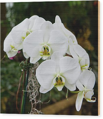 White Orchids 2 Wood Print by Timothy Blair