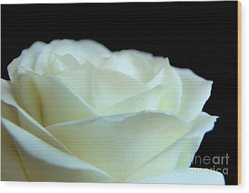 White Avalanche Rose Wood Print by Eden Baed