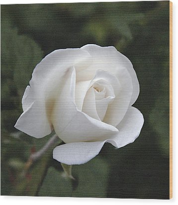 White Rose Wood Print