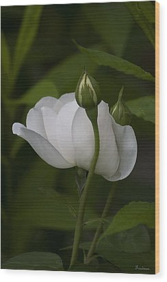 White Rose With Buds Wood Print