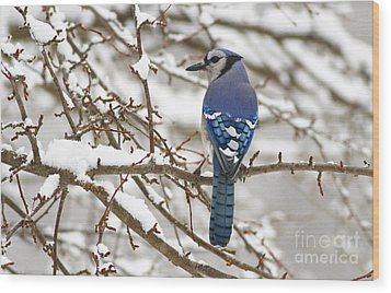 White Snows Blue Jay Wood Print