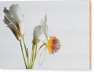 White Sparmannia Africana Plant. Wood Print