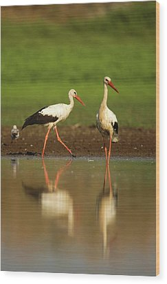 White Stork (ciconia Ciconia) Wood Print by Photostock-israel