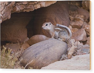 White-tailed Antelope Squirrel Wood Print by Martha Marks