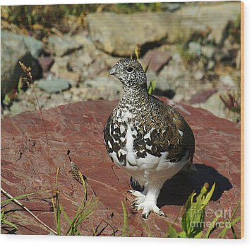 Wood Print featuring the photograph White-tailed Ptarmigan by Sue Smith