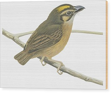 White Throated Spadebill Wood Print by Anonymous