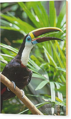 White-throated Toucan Wood Print by Art Wolfe