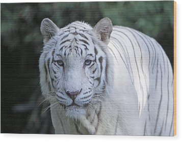 White Tiger Face Wood Print by Shoal Hollingsworth