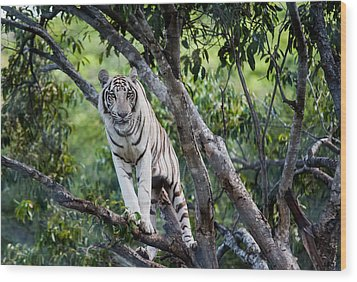 White Tiger On The Tree Wood Print by Jenny Rainbow