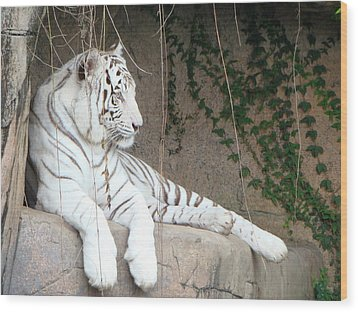 White Tiger Resting Wood Print by Phyllis Beiser