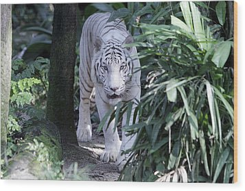 Wood Print featuring the photograph White Tiger  by Shoal Hollingsworth