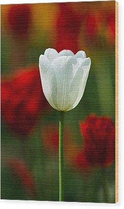 White Tulip - Featured 3 Wood Print by Alexander Senin
