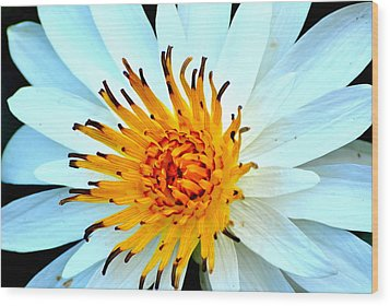 White Water Lilly II Wood Print