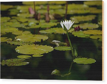White Water Lily Uncropped Wood Print by Julio Solar