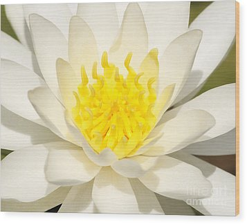 White Waterlily Wood Print by Olivia Hardwicke