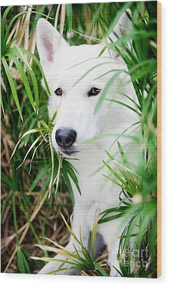 Wood Print featuring the photograph White Wolf by Erika Weber