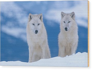 White Wolf Pair In Winter Wood Print by Alan and Sandy Carey
