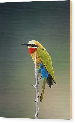 Whitefronted Bee-eater Wood Print by Johan Swanepoel
