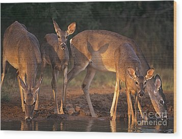Whitetail Deer At Waterhole Texas Wood Print
