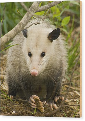 Who Says Possums Are Ugly Wood Print