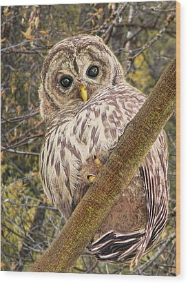 Who Who Are You Barred Owlet Wood Print by Jennie Marie Schell