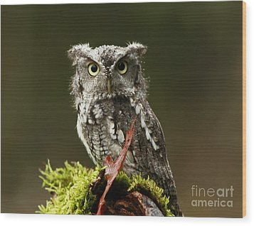 Whooo Goes There... Eastern Screech Owl  Wood Print by Inspired Nature Photography Fine Art Photography