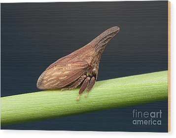 Widefooted Treehopper II Wood Print by Clarence Holmes