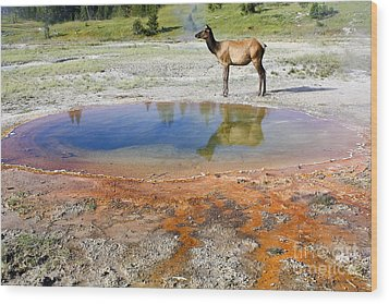 Wood Print featuring the photograph Wild And Free In Yellowstone by Teresa Zieba