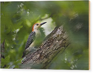 Red Bellied Woodpecker Wood Print by Christina Rollo