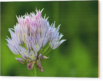 Wild Blue - Chive Blossom Wood Print by Adam Romanowicz