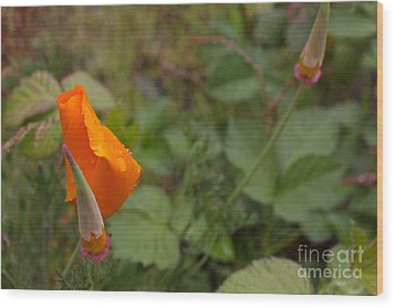 Wild Poppy Rain Wood Print by Tim Rice