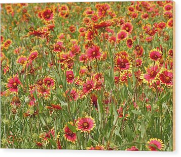 Wood Print featuring the photograph Wild Red Daisies #1 by Robert ONeil