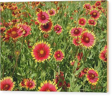 Wood Print featuring the photograph Wild Red Daisies #4 by Robert ONeil