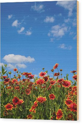 Wood Print featuring the photograph Wild Red Daisies #6 by Robert ONeil