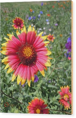 Wood Print featuring the photograph Wild Red Daisy #1 by Robert ONeil