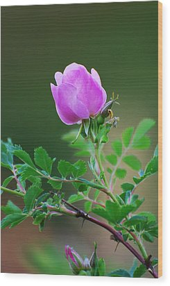 Wild Rose Wood Print by Kimberley Anglesey