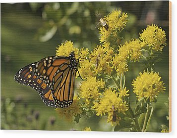Wings - Monarch On Goldenrod Wood Print