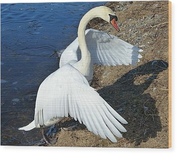 Wings Of A Swan Wood Print by Elaine Franklin
