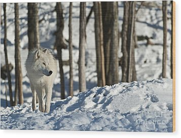 Wood Print featuring the photograph Winter Arctic Wolf by Wolves Only