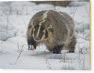 Wood Print featuring the photograph Winter Badger by Jack Bell
