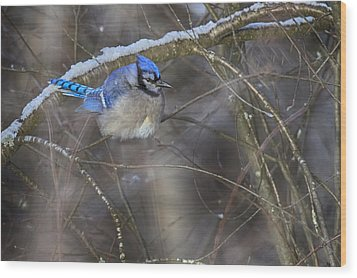 Winter Blue Jay Wood Print