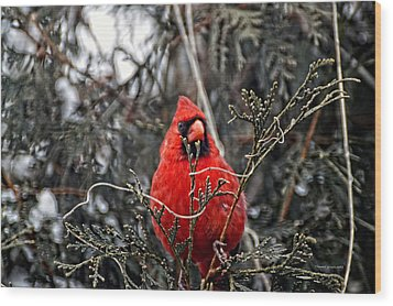 Winter Cardinal 03 Wood Print by Thomas Woolworth