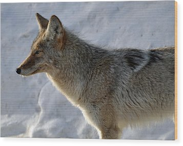 Winter Coyote In Yellowstone Wood Print by Bruce Gourley