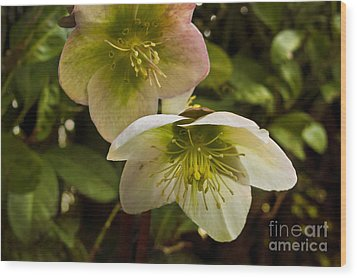 Winter Hellebore Wood Print