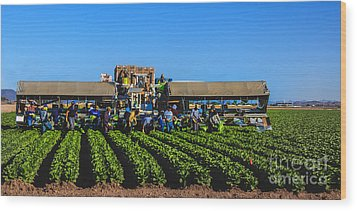 Winter Lettuce Harvest Wood Print by Robert Bales
