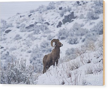 Winter Ram Wood Print by Mike  Dawson