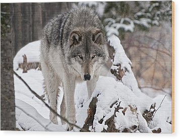 Wood Print featuring the photograph Winter Timber Wolf by Wolves Only